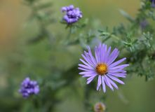 Asters blooming in the garden. A blue aster blooms in the garden as two blooms have closed in the distance Royalty Free Stock Photography
