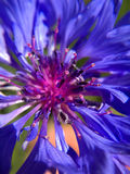 Blue Aster Feature. A closeup look of purple aster feature Stock Image