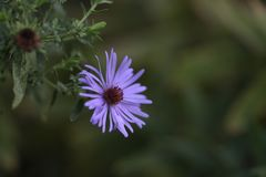 A blue aster blooms in the garden. Royalty Free Stock Photos