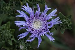 Blue Aster flower opens to the sun. A blue aster flower opens to the sun with all of its frilly petals stock photos