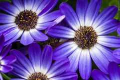 Blue aster flowers with petals Stock Images
