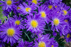 Blue aster flowers. Blue and yellow aster flowers in the garden Royalty Free Stock Images