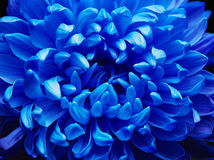 Blue aster Royalty Free Stock Images