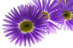 Blue asters Stock Image