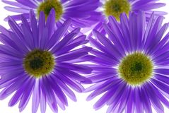 Blue asters Royalty Free Stock Images