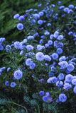 Autumn asters Stock Photo