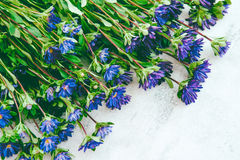 Blue asters. Fresh blooming garden blue asters Royalty Free Stock Photo
