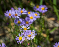 Blue Asters in the Tetons Stock Photography
