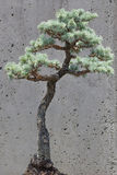 Blue Atlas Cedar Bonsai Tree Stock Images