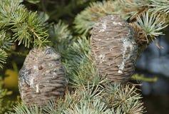 Blue Atlas Cedar Cones stock photography