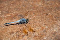 Blue Australian dragonfly Royalty Free Stock Images