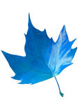 BLUE AUTUMN LEAF - ISOLATED Stock Photo
