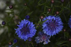 Blue bachelor button flowers in bloom stock photo