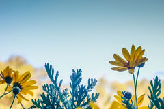 Blue backdrop with yellow frowers in front. Stock Image