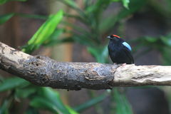 Blue-backed manakin. Sitting on the wood Stock Photos