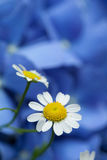 Blue background with camomile Stock Photos