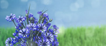 Blue background with cornflower. And green grass Royalty Free Stock Photos