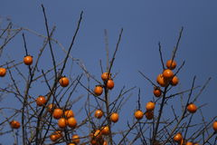 Blue background, hanging on the branches of the orange persimmon. N the field, the fruit of flashing light, attached to a layer of thin white fluff Stock Image