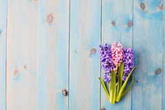 Blue background with hyacinthus Stock Photos