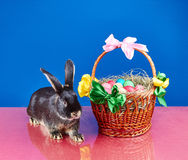 On a blue background and a red cloth sitting rabbit near a basket Royalty Free Stock Image