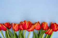 A blue background with a row of red tulips royalty free stock photos