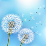 Blue background with two flowers dandelions Stock Image