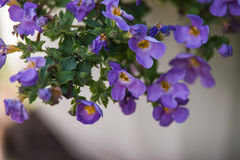 Blue bacopa. Light blue bacopa in garden Royalty Free Stock Image