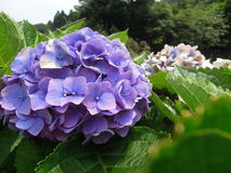 Blue Ball-shape Hydrangea  Royalty Free Stock Images