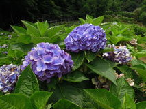 Blue Ball-shape Hydrangea Flowers Royalty Free Stock Photo