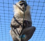 Blue Balled Vervet Monkey. Monkey with blue testicles in captivity stock photos
