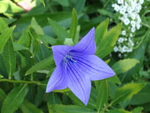 Blue balloon flower. A blue balloon flower bloom Stock Image