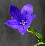 Blue balloon flower Stock Images