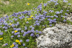 Blue balls or Globular (Globularia cordifolia) flowers Royalty Free Stock Photography