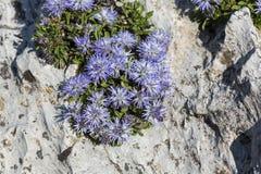 Blue balls or Globular (Globularia cordifolia) flowers Stock Photo
