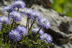 Blue balls or Globular (Globularia cordifolia) flowers Stock Photos