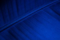 Blue banana leaf Royalty Free Stock Photo