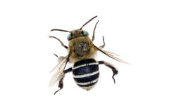 Blue-banded Bee Royalty Free Stock Images