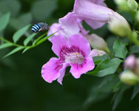 Blue banded bee. A blue-banded bee flying to pink flower for nectar. They mainly like blue flowers Royalty Free Stock Image