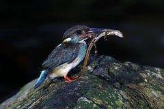 Blue-banded Kingfisher Alcedo euryzona Male Birds Feeding Royalty Free Stock Images