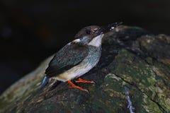 Blue-banded Kingfisher Alcedo euryzona Male Birds of Thailand Stock Photography