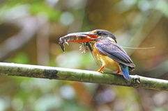 Blue-banded Kingfisher Royalty Free Stock Images