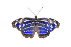 Blue-banded Purplewing Butterfly Royalty Free Stock Photography