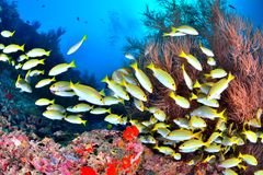 Blue banded snapper Royalty Free Stock Photos