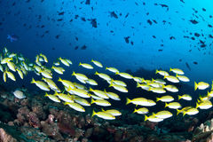 Blue banded snapper Royalty Free Stock Image