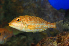 Blue banded snapper Stock Image