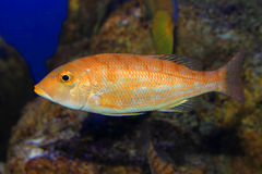 Blue banded snapper Stock Photos