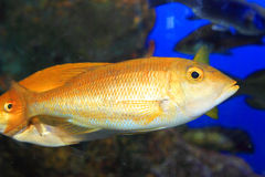 Blue banded snapper Royalty Free Stock Photography