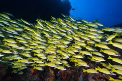 Blue banded snapper Stock Photography