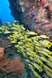 Blue banded snapper Royalty Free Stock Photo