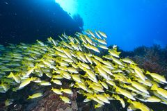 Blue banded snapper Royalty Free Stock Images